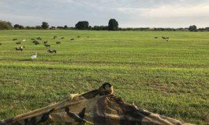 Jagers willen jachtseizoen voor ganzen verplaatsen – Omroep Gelderland
