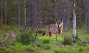 Waarschuwing vrijwilligers voor vossenlintworm bij onderzoek wolvenkeutels