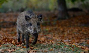 Natuurmonumenten houdt varkenspest in de gaten: 'Extra afschot zwijnen niet nodig' – De Monitor