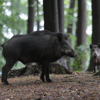 Afrikaanse varkenspest