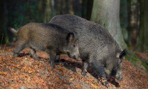 Afrikaanse varkenspest: blijf verspreiding voor!