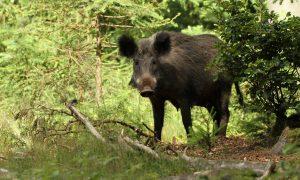 Overijssel breidt jacht uit om varkenspest te voorkomen – NOS