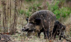 Hoe krijgen we de wilde zwijnen onder controle in Noord-Brabant – ZLTO