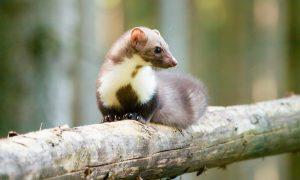 Wegvangen steenmarter helpt weidevogels – Leeuwarder Courant