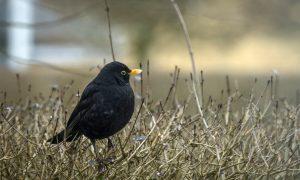 Ophokplicht pluimvee vogelgriep: wat jagers moeten weten