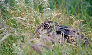 Persbericht – Motie schrappen haas en konijn van wildlijst onnodig en juridisch onuitvoerbaar