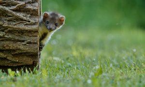 Steenmarter burgert in, weidevogels verdwijnen – Dalfsennet