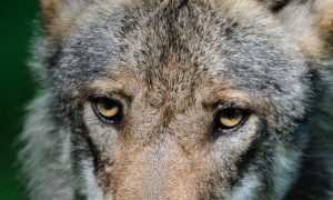 Wolf gespot in West-Betuwe