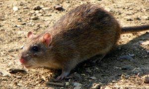 Met lege handen tegen ratten – De Telegraaf