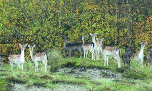 Eilandbewoners, Haringvreter herbergt uitdijende populatie damwild – De Nederlandse Jager 6, 2014