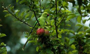 Halsbandparkiet drijft fruittelers tot wanhoop – De Volkskrant