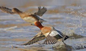 Nieuw Europees netwerk wil toekomst watervogels veilig stellen
