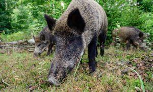 Update Afrikaanse varkenspest 21/11/19 – Explosieve toename besmettingen vlakbij Duitse grens