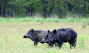 Jagers bejagen opnieuw meer wilde zwijnen in Limburg