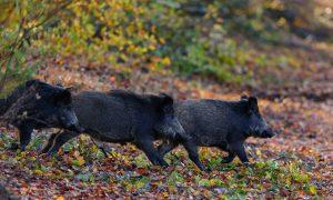 Update Afrikaanse Varkenspest 16/1/2020: Beieren verhoogt subsidies voor afschot wilde zwijnen