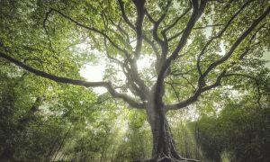 Europese boom van het jaar verkiezing: stem op De Heksenboom in Bladel!
