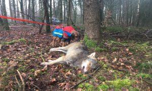 Wolf doodgereden op Noord-Veluwe