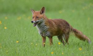 GPS-onderzoek naar gedrag van de vos