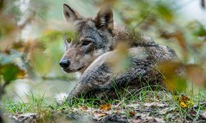 Unieke beelden van wolvin op de Veluwe – NOS