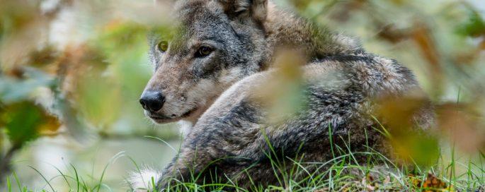 Junior Jagers Webinar 'De wolf en zijn invloed op (rood)wild'