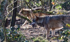 Wolf niet laten vestigen – Provincie Brabant