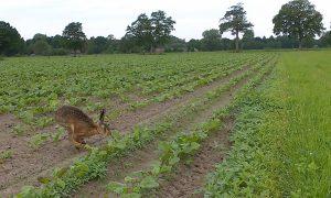 Persbericht – Onderzoek Jagersvereniging: voederbietenteelt meerwaarde voor fauna in vergelijking met snijmais