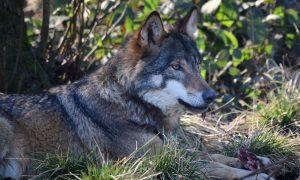 Vestiging wolf aanleiding nieuw N2000-gebied – Veldpost