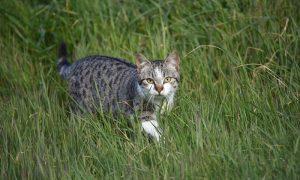 Opnieuw Kamervragen D66 over effect katten op natuur