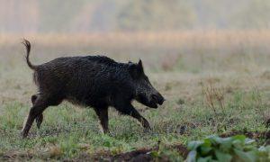 ZLTO en Jagersvereniging Brabant: werk samen bij bejagen zwijnen tijdens maisoogst