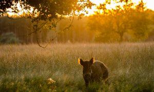Eerste Drentse rotte wilde zwijnen verstopt zich in maisveld bij Beilen. Provincie Drenthe opent de jacht – Dagblad van het Noorden