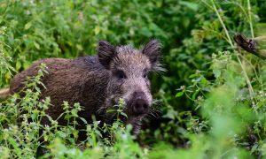 Eerste geval Afrikaanse varkenspest in Duitsland bevestigd