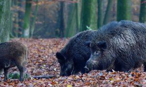 Zwijn ontsnapt aan jager door topdrukte Veluwe – Trouw