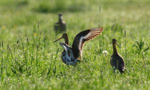 CDA-motie in Friesland over weidevogelbeheer met ruime meerderheid aangenomen