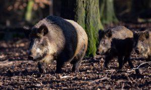 Minder wilde zwijnen afgeschoten door coronamaatregelen – Nieuwe Oogst