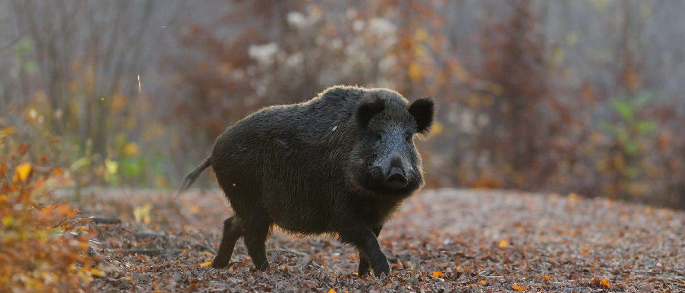 Jagers en Afrikaanse varkenspest – Gezondheidsdienst voor Dieren
