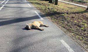 Wolvin doodgereden op provinciale weg bij Ede – AD