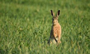 Federatie Particulier Grondbezit zeer ontstemd over motie haas en konijn: perk eigendomsrecht niet in