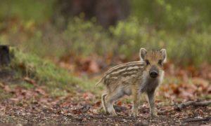 Oproep Jagersvereniging: Bescherm jonge, wilde dieren