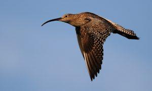 LTO Noord: meer aandacht voor impact predatoren op weidevogels – AgriHolland