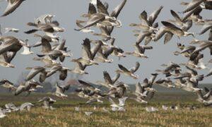 Advies aan provincies over toekomstig ganzenbeheer: één landelijk beheerplan grauwe gans