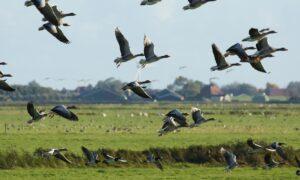 Agrariërs Nootdorp willen drastische reductie van aantallen ganzen