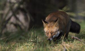 Twee vossen in Groningen besmet met vogelgriep; honden aan de lijn