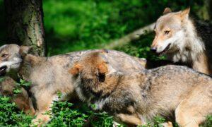 Nieuwste rapportage wolf: soort nog steeds aanwezig in leefgebieden